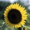 Sunflower (Helianthusannuus) Carrier oils
