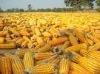 Thailand Dry Corn