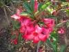 Adenium Obesum Desert Rose