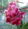 Thailand Orchid Plants