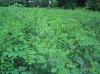 Natural indigo plant