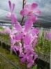 Mokara Pink orchids