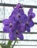 Tropics Flower Vanda