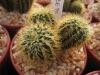 Thailand Cactus Frailea