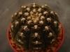 Gymnocalycium regonesii cactus