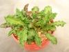 Euphorbia decayi succulent