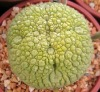 Pseudolithos spp plant