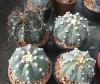 Astrophytum mixed