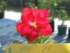 Adenium Neo-Doxon# 098 Double Flower