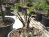 Adenium Arabicum-Super Black Giant Seedling