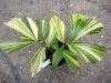 "Palm ""Caryota Mitis Lour Grade"