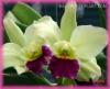 (Orchid) Blc.Mem-Anan