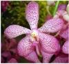 M-001 : Mokara Jakuan Orchid