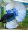 Turquoise Butterfly Halfmoon Betta