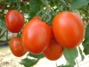 "Tomato Seed ""Racha"" Star"