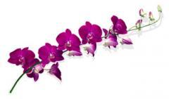 Dendrobium Sabin