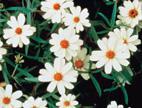 Flower Seed Zinnia  Zinnia varieties Dreamland.
