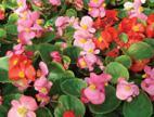 Flower Seed  Begonia