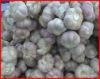 Fresh Garlic from thailand