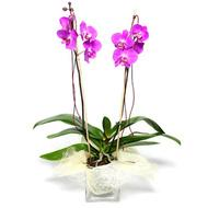 Thai Orchids tropical flower