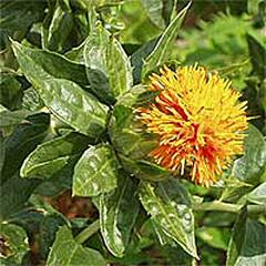 Safflower oil Thailand