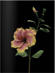 Hibiscus Tammy Faye