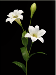 F5823FWC/TL Easter Lily