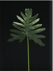LP1656FWC/T-C Philodendron.
