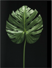 L4168FWC/T Monstera Leaf