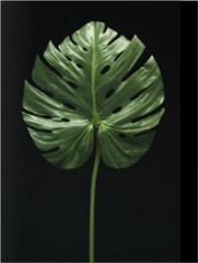 L4168FWC/T Monstera Leaf