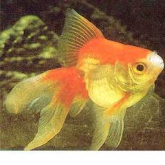Fancy Gold Fish