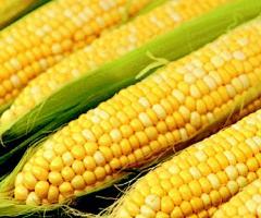 Yellow maize/ Corn
