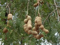 Tamarind – seedless / with seed