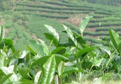 High quality Oolong tea