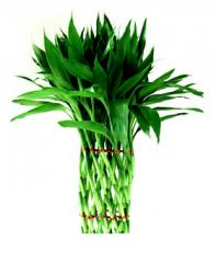 Lucky bamboo plants Cross-StraightWoven Style