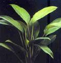 Aglaonema simplex