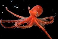 Cephalopod mollusc octopus