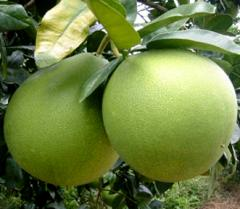 Tong-Dee Pomelo
