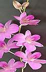 Dendrobium Den. Aroma Pink
