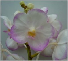 Orchid Sweet White
