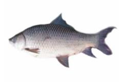 Fresh Water Fish: Rohu.