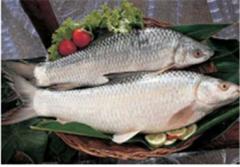 Fresh Water Fish :  Mrigal.