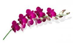 Dendrobium Siam Grandy