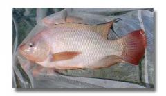 Red tilapia strains