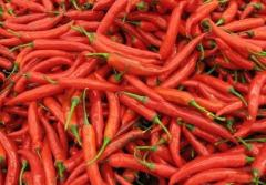 Fresh red chillies grown by own farms at Northern