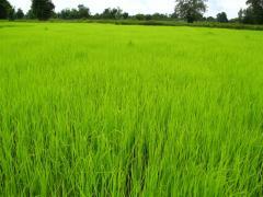 GABA Jasmine rice