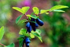Wild sweetberry premium