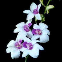 Sina White