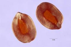 Cassia (Siamise)