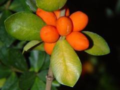 Alyxia reinwardtii Blume